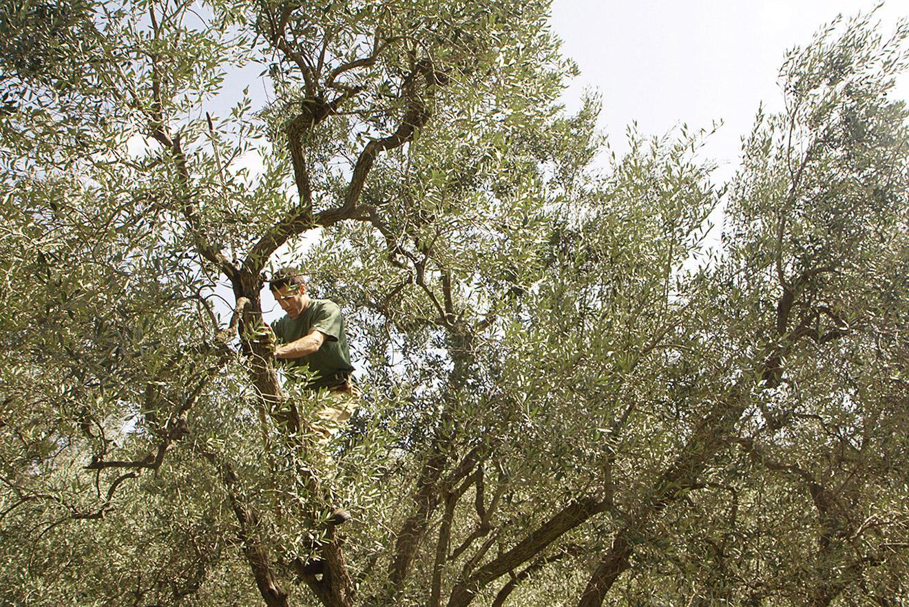 Olive-02